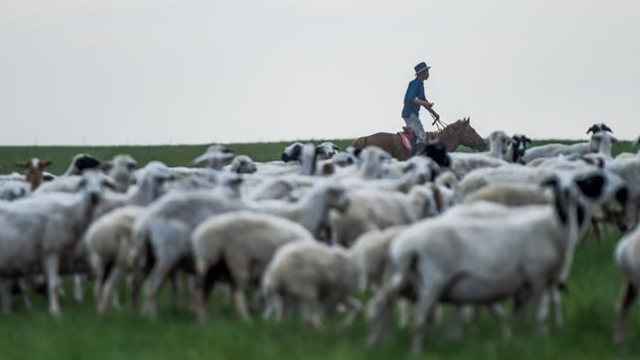 Un pastore della Mongolia Interna fa pascolare una pecora